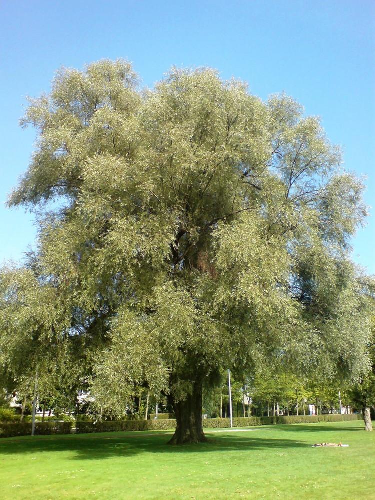 Ein mächtiger Baum