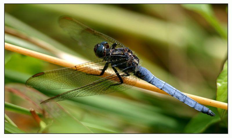 Ein Männchen des Kleinen Blaupfeils (Orthetrum coerulescens