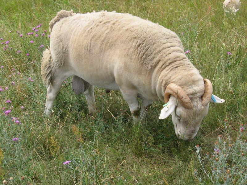 Ein männliches Schaf...