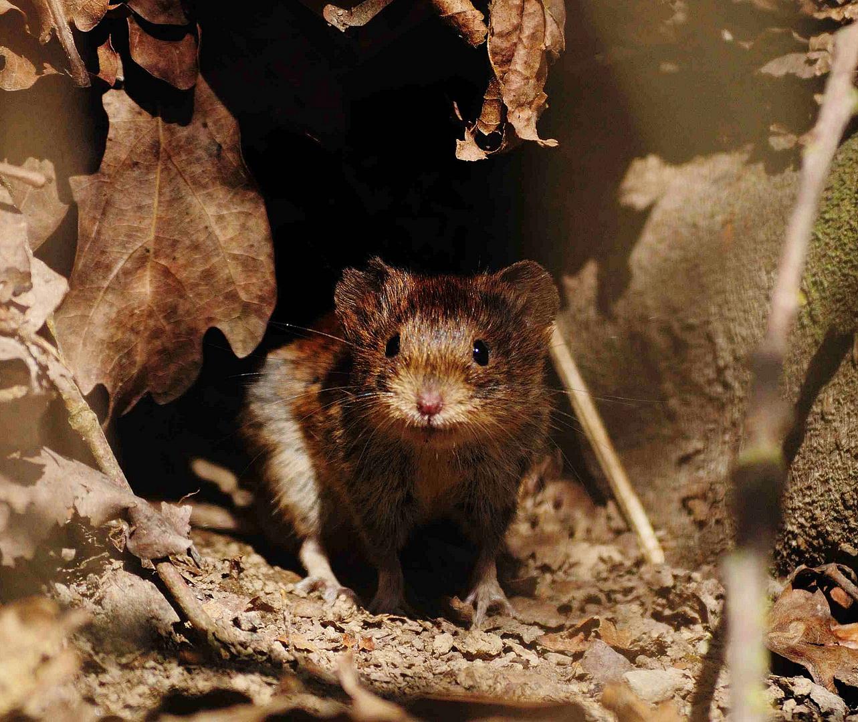 ein Mäuschen im Wald