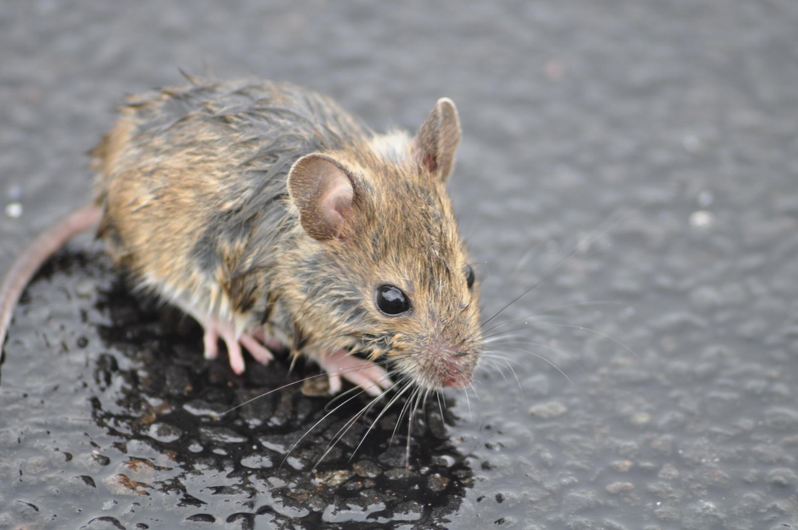 Ein Maus von Regen überrascht