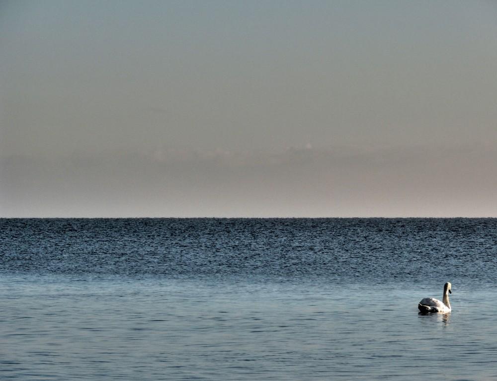 Ein Meer - ein Schwan - ein Ostseeschwan