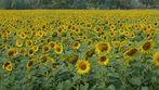 Ein Meer voller Sonnenblumen