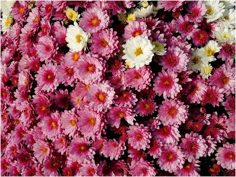 Ein Meer von Blüten