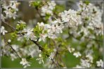Ein Meer von Mirabellenblüten