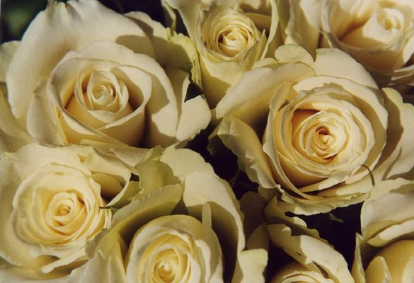 Ein Meer von Rosen .....