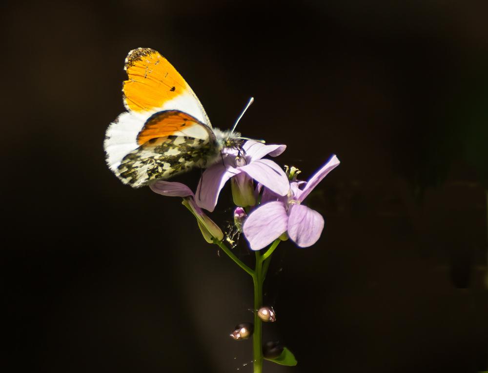 ein mir unbekannter Schmetterling zeigte sich heute im Britzer Garten