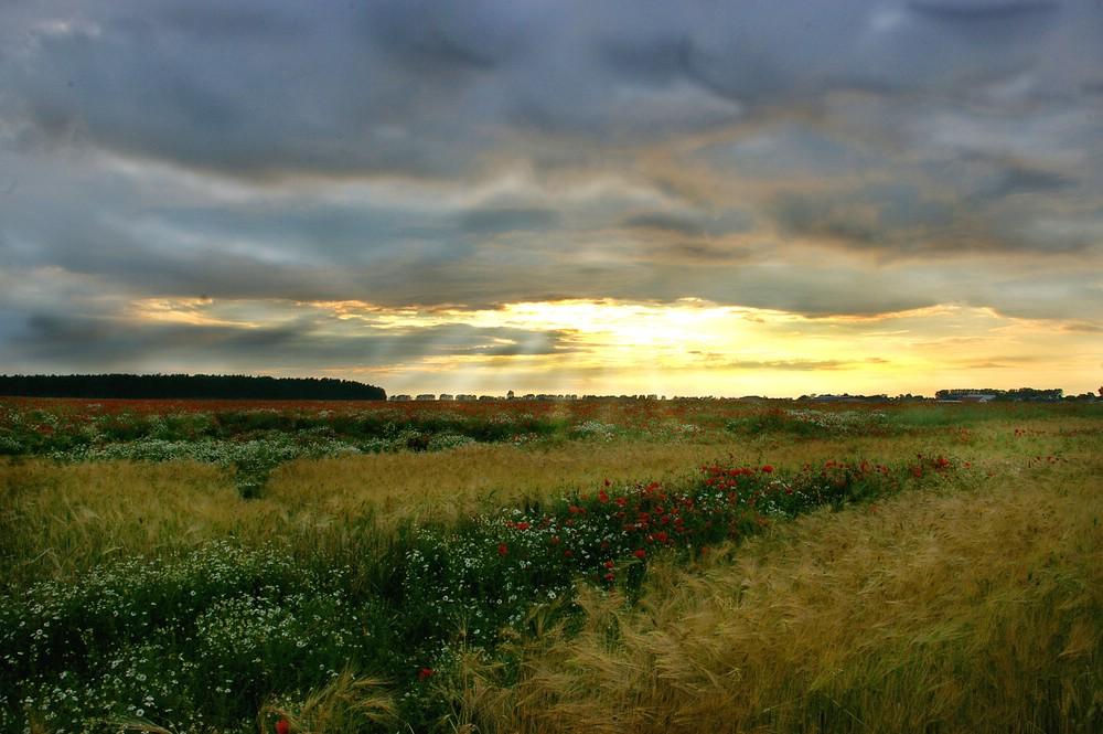 Ein Mohnfeld nach einem Sommerregen
