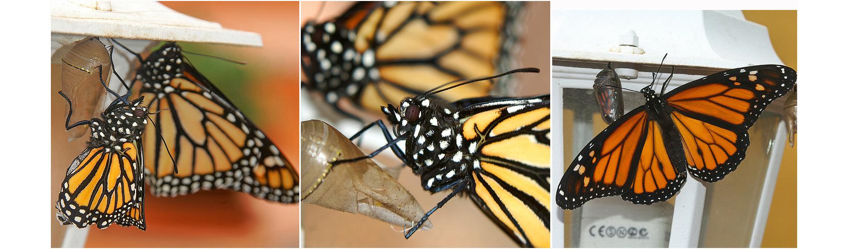 Ein Monarch wird geboren Teil IV - Metamorphose beendet