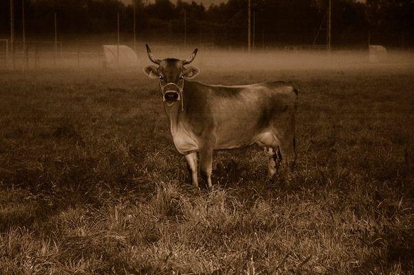 Ein Morgengrau Stier oder Kuh