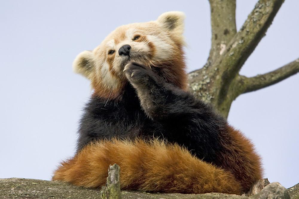 ein nachdenklicher Kleiner Panda...
