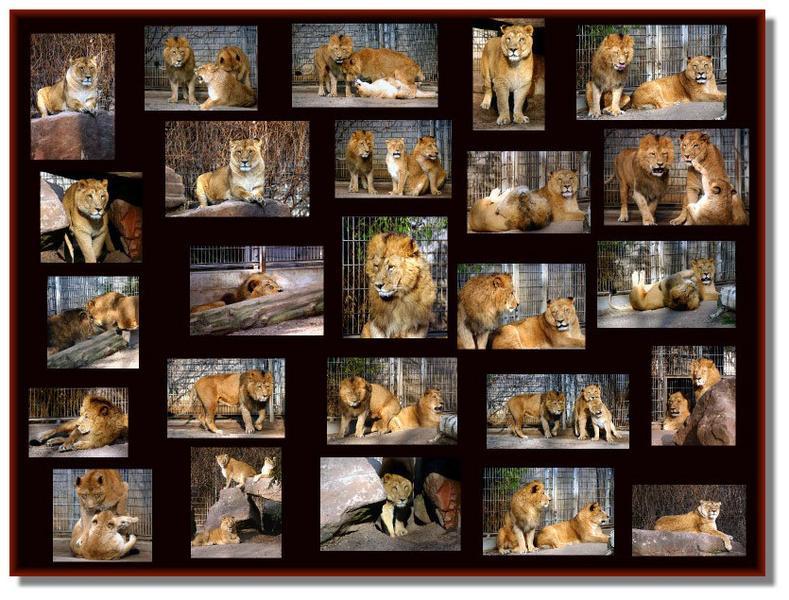 Ein Nachmittag am Löwengehege