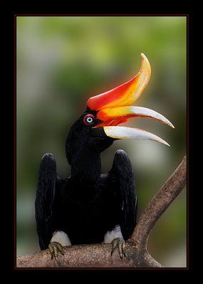 Ein Nashornvogel // The Great Hornbill