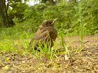 Ein Nestflüchter