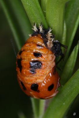 Ein neuer Käfer entsteht...