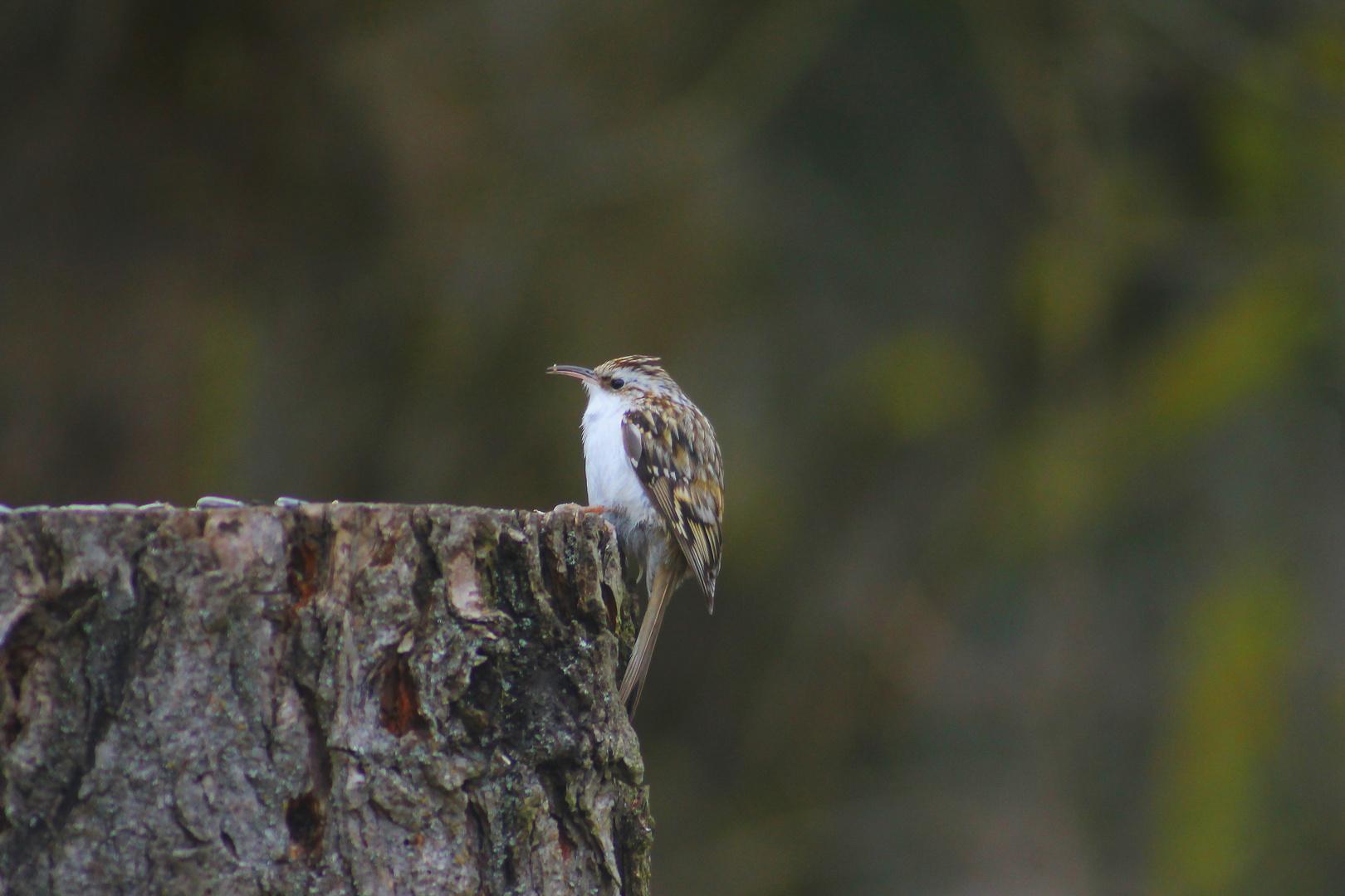 Ein neuer Zuflug auf der STW Waldbaumläufer