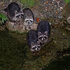 Ein neugieriges Quartett Waschbären