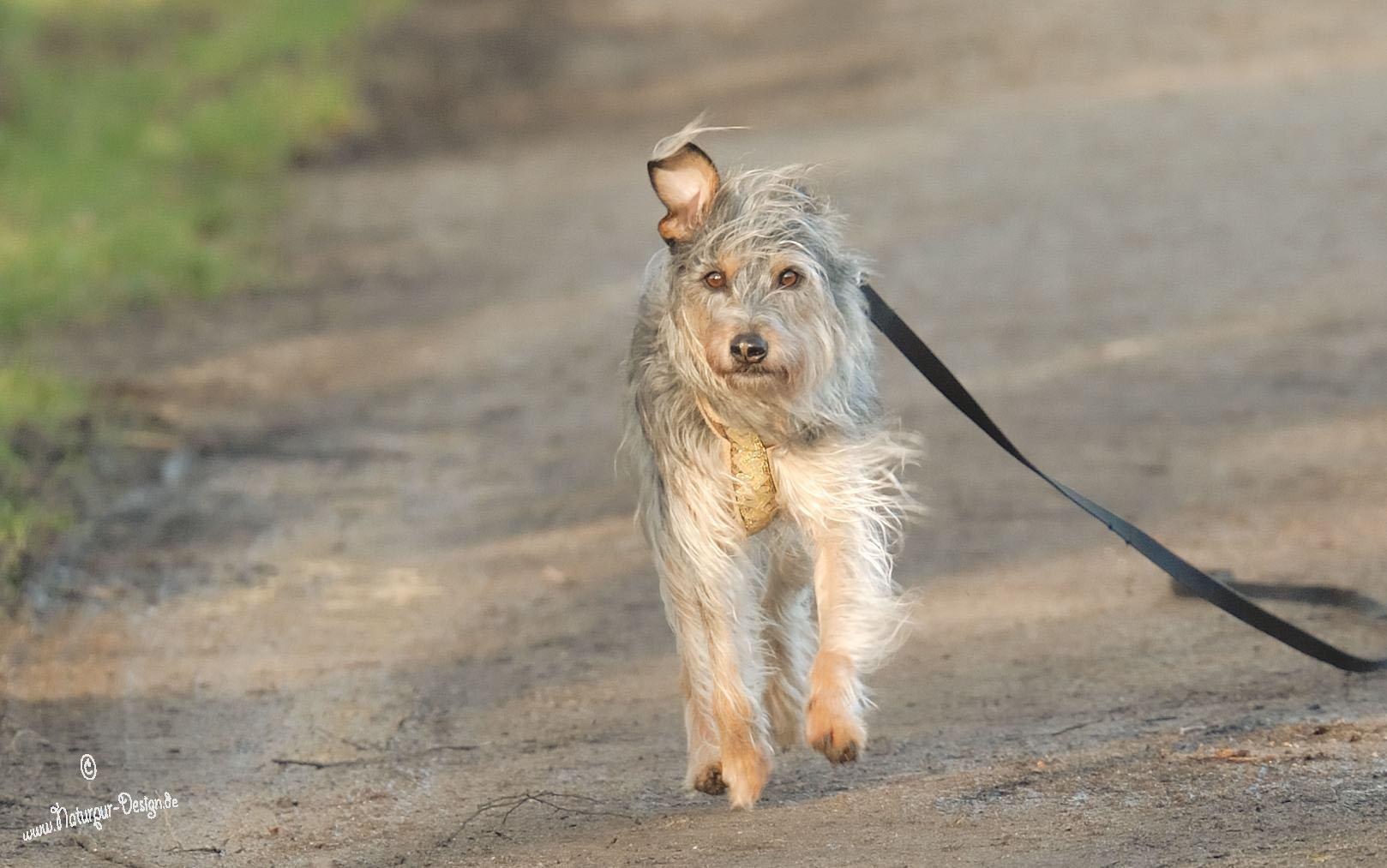 Ein-Ohr-Hund