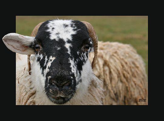 Ein-Ohr-Schaf