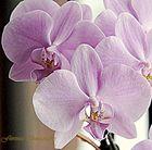 Ein Orchidee