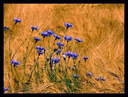 Ein paar blaue Kornblumen....