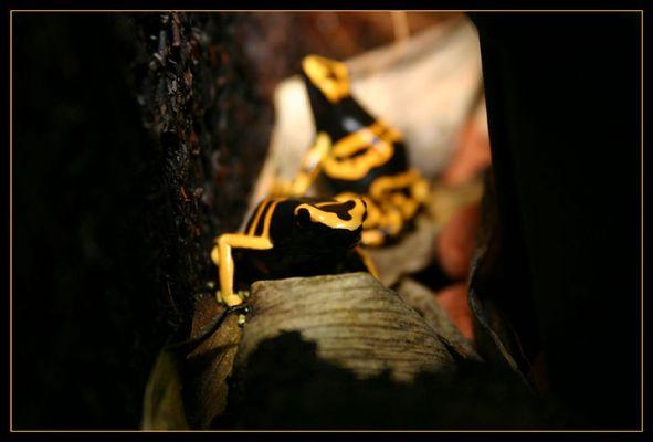 Ein Pärchen Gelbgebänderter Pfeilgiftfrösche beim Flirt