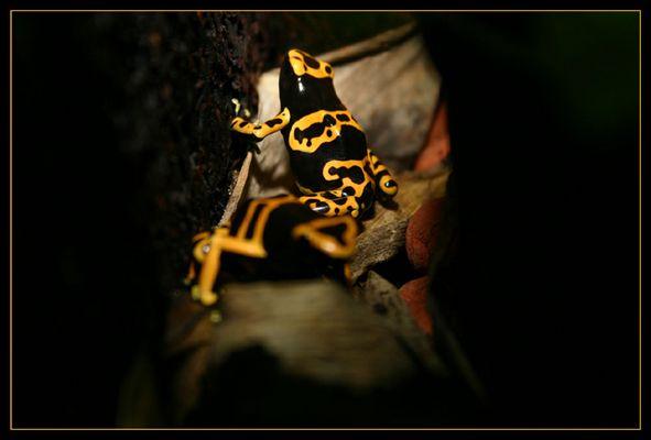 Ein Pärchen Gelbgebänderter Pfeilgiftfrösche (Dendrobates leucomelas) beim Flirt