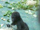 Ein pfeifendes Gorilla-Kleinkind