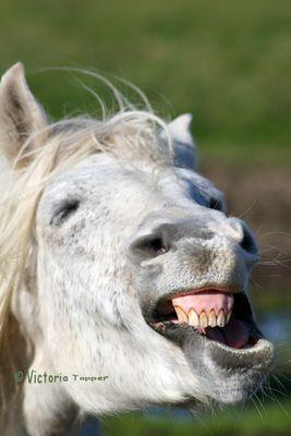 Ein Pferdegrinsen