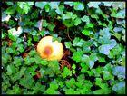 Ein Pilz im Efeu ^^