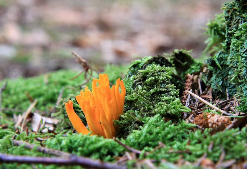 Ein Pilz wie eine Koralle