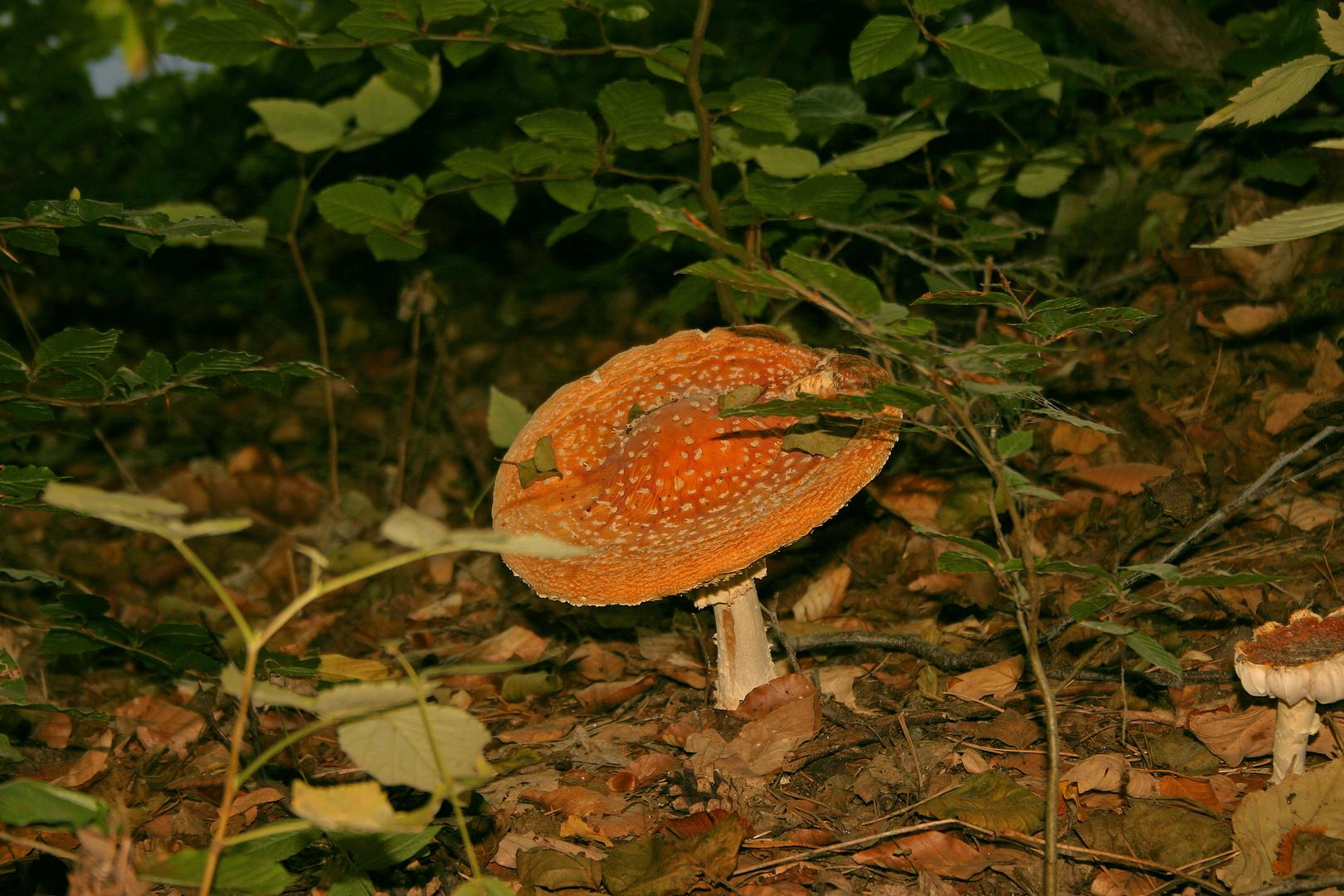 ein Pilzlein steht im Walde .....