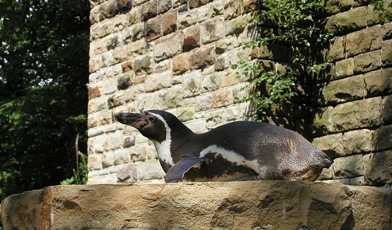 Ein Pinguin im Ruhr Zoo