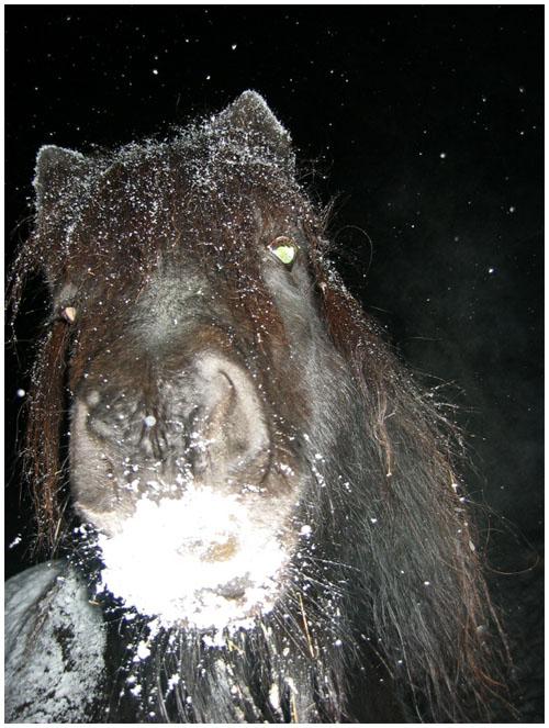 ein ponny aus gumpling