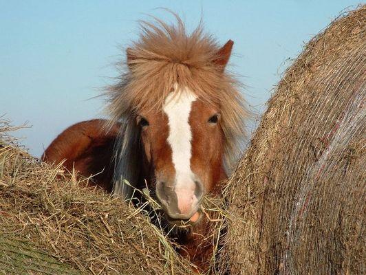 ein Pony im siebten Heuhimmel