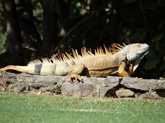 Ein Prachtkerl von Leguan