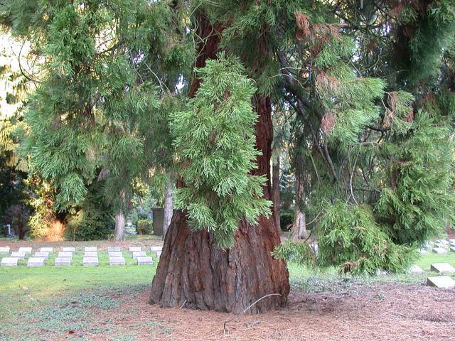 Ein Prachtstück von Baum