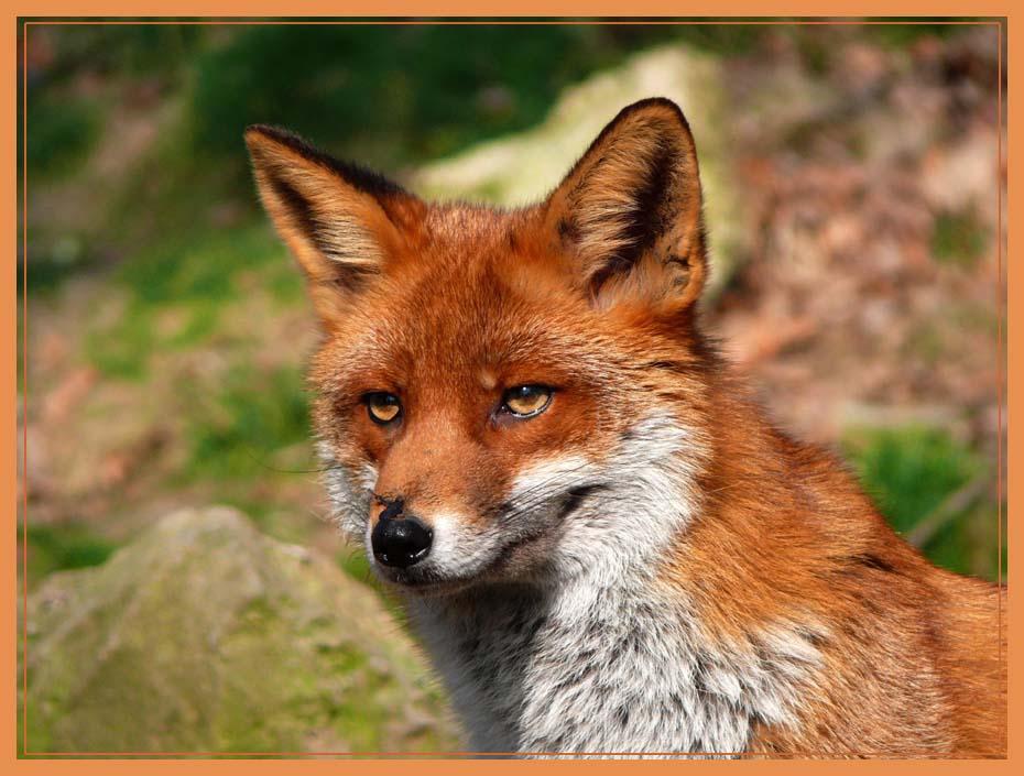 Ein prächtiger Fuchs