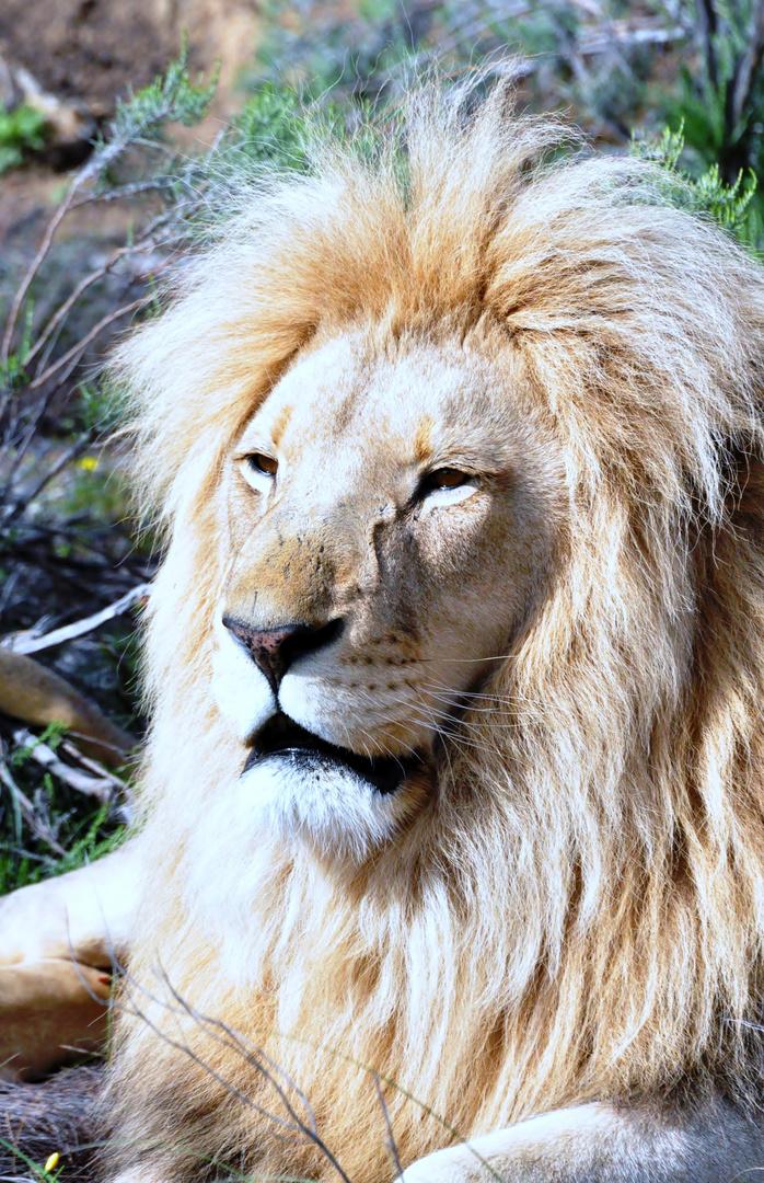 Ein prächtiger Löwe