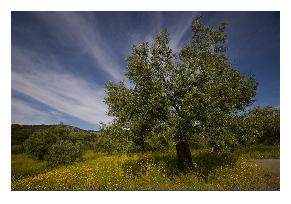 Ein prächtiger Olivenbaum...