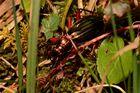 Ein Räuber im Dickicht: Der Goldglänzende Laufkäfer (Carabus auronitens) hat . . .