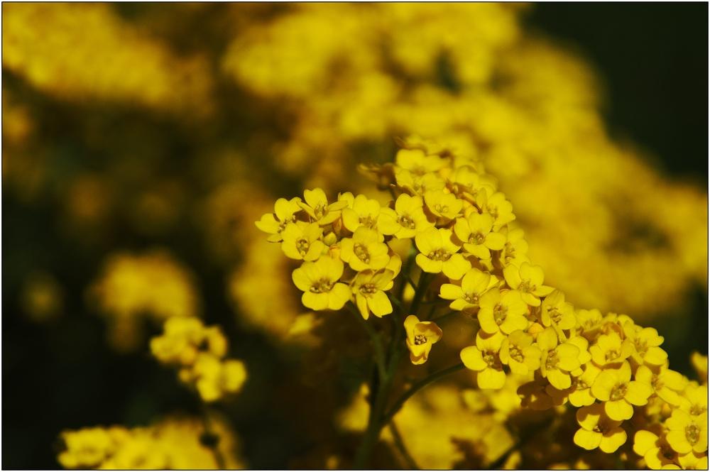 ... ein Rausch in Gelb ...