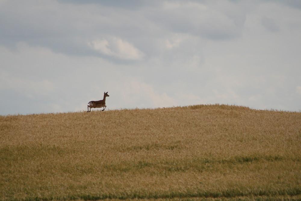 Ein Reh im Kornfeld