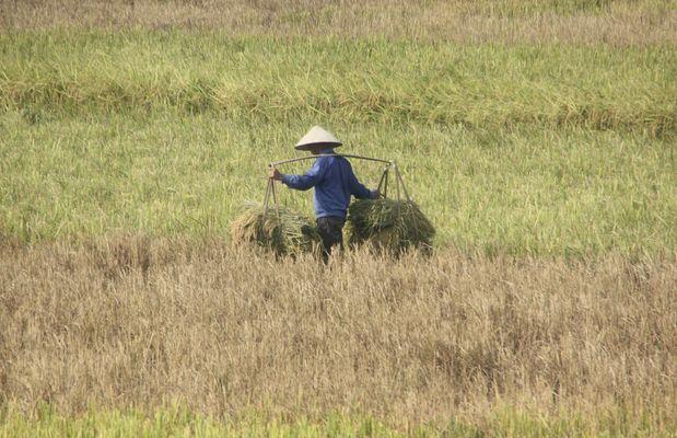 ein Reisbauer bei der Arbeit