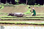 Ein Reisbauer...