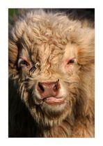 Ein Rindvieh...