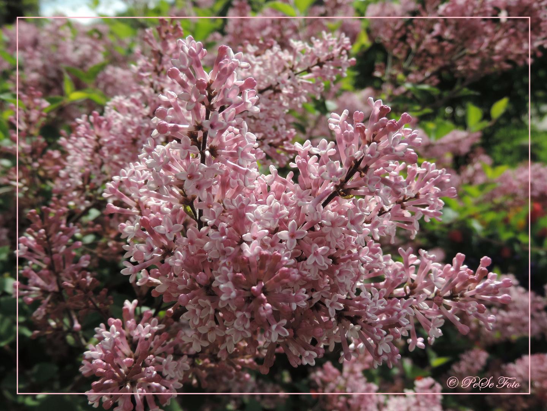Ein rosa Blütentraum