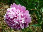 Ein rosa Blütenwunder