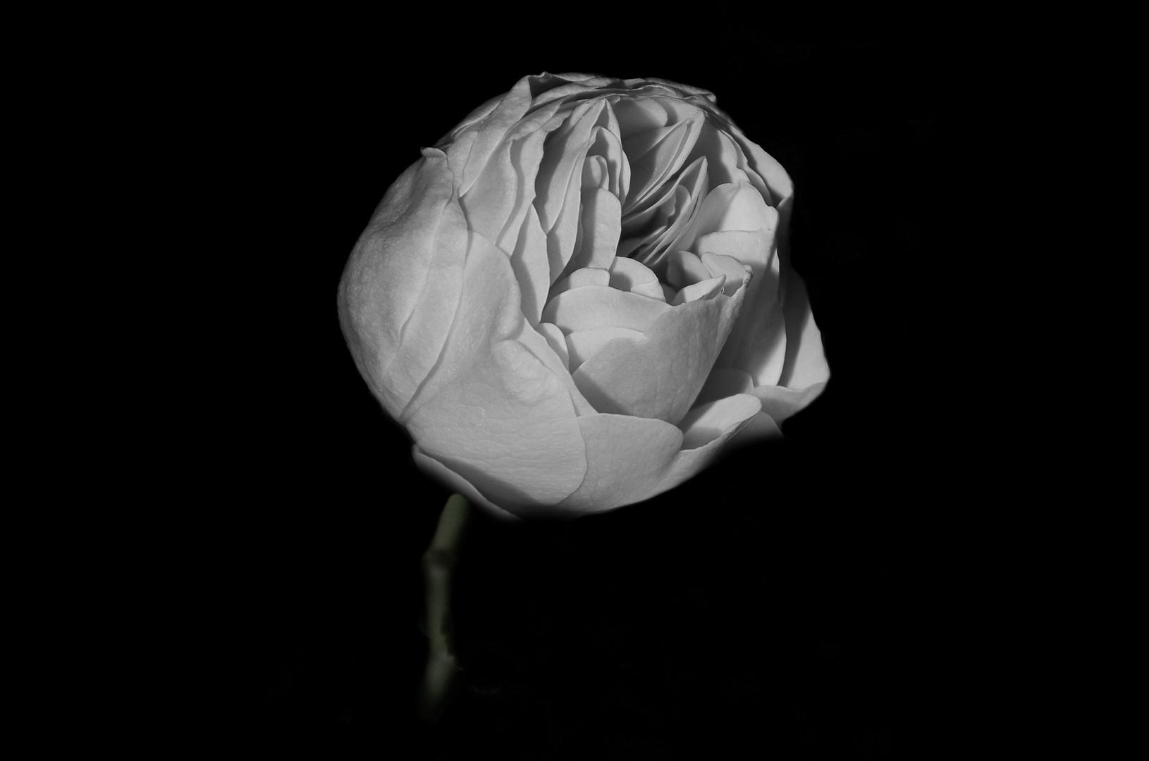 ein Rose wächst aus der Finsternis