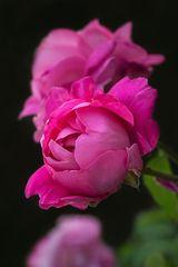 Ein Rosengruß aus meinem Garten...
